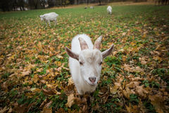 A herd of goats Zaanen breed grazing in the meadow dotted with y Royalty Free Stock Image