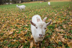 A herd of goats Zaanen breed grazing in the meadow dotted with y Stock Image