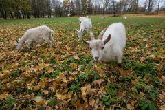 A herd of goats Zaanen breed grazing in the meadow dotted with y Royalty Free Stock Photos