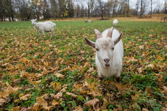 A herd of goats Zaanen breed grazing in the meadow dotted with y Royalty Free Stock Photography