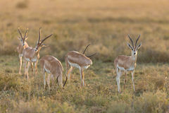 Herd of Grant's Gazelle, Ndutu, Serengeti, Tanzania Royalty Free Stock Photo