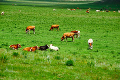 The herd in the grassland Royalty Free Stock Photos