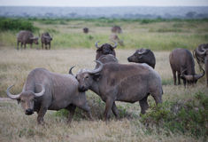 Herd of gray buffalo on african savannah Stock Images
