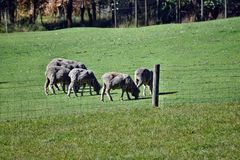 Herd gray sheep. A herd of gray sheep on a farm in Australia Stock Photography