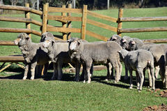 Herd gray sheep. A herd of gray sheep on a farm in Australia Stock Photo