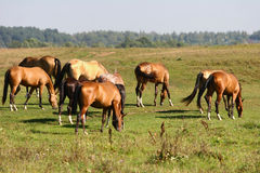 Herd grazing royalty free stock image