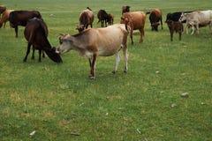 Herd of grazing cows Stock Photos
