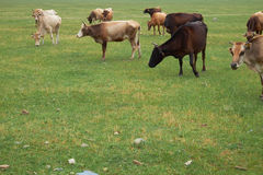 Herd of grazing cows Royalty Free Stock Image