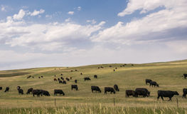 Herd of grazing cows in a vast field in Colorado Royalty Free Stock Photo