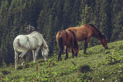 Herd of grazing horses Stock Photo