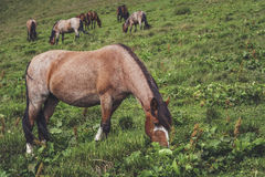Herd of grazing horses Royalty Free Stock Photos