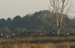 A herd of grazing Konik Ponies Equus ferus caballus at Burwell Fen, England in morning light. Royalty Free Stock Images