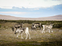 Herd of grazing reindeer, Sweden Stock Photography
