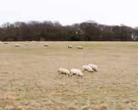 Herd of grazing sheep in field grassland white sky autumn winter. Essex; england; uk Royalty Free Stock Photo