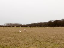 Herd of grazing sheep in field grassland white sky autumn winter. Essex; england; uk Royalty Free Stock Image