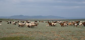 Herd of grazing sheep and goats royalty free stock photography