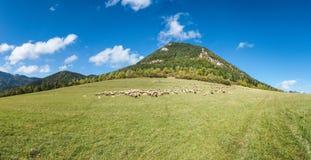 Herd of grazing sheeps on mountain pasture Stock Photo
