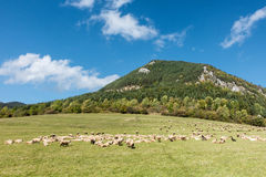Herd of grazing sheeps under limestone hill Royalty Free Stock Photo