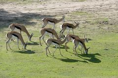A herd of grazing springboks. Eight springboks are walking during grazing Royalty Free Stock Image