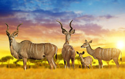 Herd of Greater kudu on the savannah Royalty Free Stock Images