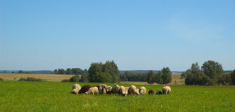 Herd of green sheep in summer day Stock Photo