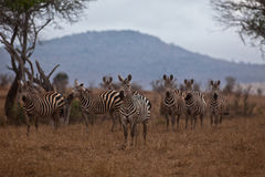 Herd Of Grevy's Zebra Royalty Free Stock Photo