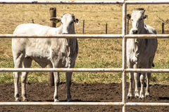 Herd Royalty Free Stock Photography