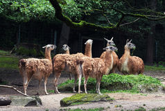 Herd of Guanaco llamas (Lama guanicoe) Royalty Free Stock Photo