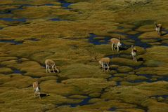 Herd of guanacos in andean wetland, chile Royalty Free Stock Photos