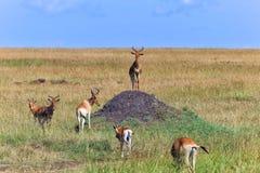 Herd of hartebeests at the masai mara stock photo