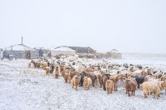 Herd of herbivorous animals in snowy prairie Royalty Free Stock Images