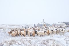 Herd of herbivorous animals in snowy prairie Stock Photo