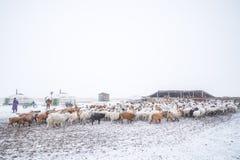 Herd of herbivorous animals in snowy prairie Stock Images
