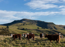 Herd of Hereford steers on mountain pasture Royalty Free Stock Photo