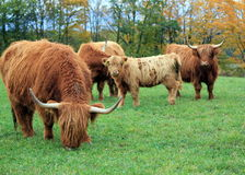 Herd of highland cows by autumn day Royalty Free Stock Photo
