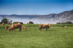 Herd of highland cows near Loch Ness Royalty Free Stock Photos