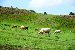 The herd on the hillside Royalty Free Stock Photography