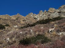 Herd of Himalayan Blue Sheep Royalty Free Stock Image