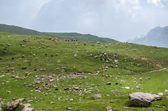 A herd in Himalayas. A herd of sheep in Himalayas Royalty Free Stock Photography
