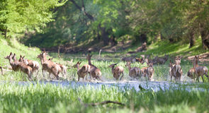 Herd of hinds and red deer Royalty Free Stock Photos