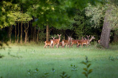 Herd of hinds Royalty Free Stock Image
