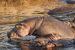 Herd of hippo Royalty Free Stock Photography