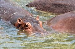 Herd of hippopotamus stock image