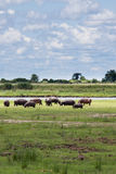 Herd of Hippopotamus Grazing near Chobe River, Botswana Royalty Free Stock Photo
