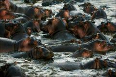 The herd of hippopotamuses bathes. Royalty Free Stock Photos