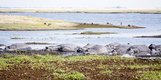 Herd of Hippos Basking in the Sun Stock Photo