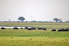 Herd of hippos grazing royalty free stock photography