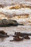 A herd of hippos on the Mara River. Masai Mara, Kenya Royalty Free Stock Photography