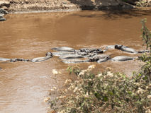 Herd of hippos resting in the water of the White Nile in the Masai Mara National Park Royalty Free Stock Photography