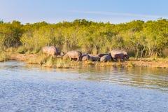 Herd of hippos sleeping, Isimangaliso Wetland Park, South Africa. Herd of hippos sleeping along river from Isimangaliso Wetland Park, South Africa. Safari into royalty free stock photos